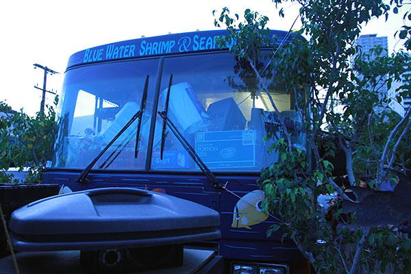 Blue Water Shrimp